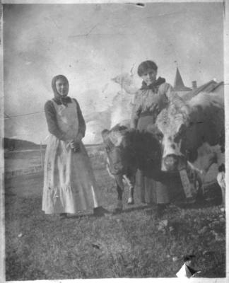 To jenter med digre kyr i Hasvik - i bakgrunnen Hasvik kirke