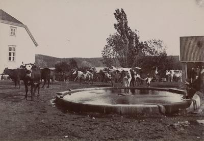 En flokk med kyr på gårdsplassen på Thorsø herregård med fontenen i forgrunnen